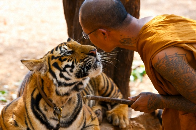 Buddhist monk face to face with a tiger