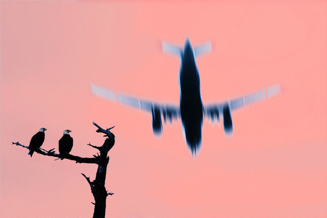 Two Eagles Staring at a Jet Flying Overhead