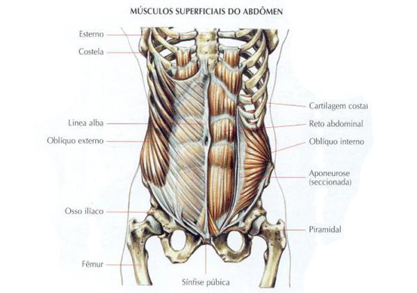 Musculos-abdominais-superficiais1
